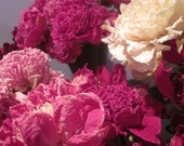 Jumbo Size Dry Whole Peony Flowers with Stems, Organically Grown, Naturally Dried, Elegant, Last for Years