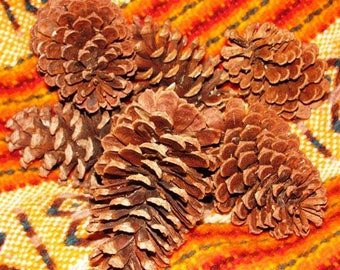 Pine Cones , Pine-cone, Organic free range Texas grown by tall Texas Pines 50 year old long needled Piney Woods harvested by real Texans, 15