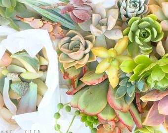 Succulent cutting clipping flower Cactus sedum Echeveria Lithop Aeonium Sempervivium wedding bridesmaid groom groomsman favour Australia