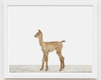 Baby Animal Nursery Art Print. Baby Alpaca. Safari Animal Wall Art. Animal Nursery Decor. Baby Animal Photo.