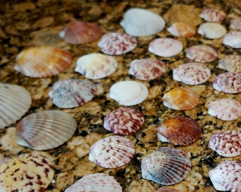 Scallop Sea Shells Florida Seashore Variety Pack 52 Shells Lot 19