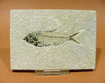 Knightia eocaena Fossil Fish in Shale  from Utah, 60 Million Years Old  17T111