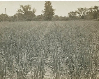 Vintage 1910's Real Photo Postcard of Agricultural Farm Field