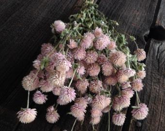 Light Pink Gomphrena or Light Pink Globe Amaranth