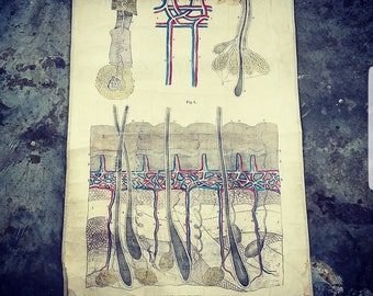 Fascinating Victorian antique SW Chandler anatomical Integumentary chart