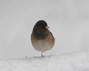 Bird Photograph, junko, nature photography, wildlife photography, winter art, snow photography, nursery decor