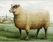 Mrs Beeton's Southdown Wether Sheep Vintage Image Digital Download JPG Illustration
