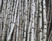 "White Birch Poles/Logs Two Poles/logs 1"" to 2"" D x 4 ft"