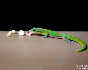 Beautiful Madagascar Gold Dust Gecko in Hawaii Eating Fruit