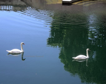 Original Photograph (Matted) : Swans in Nimes, France