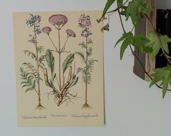 Ancienne Planche botanique, plante médicinale, valériane, french botanical print, plant,herbier