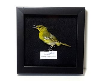 real Black-Winged Iora bird taxidermy shadowbox