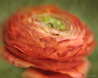 Ranunculus Photograph, Flower Portrait, Flower Wall Decor Art Print, Bedroom Wall Decor, Living Room Wall Decor, Home Decor Wall Art