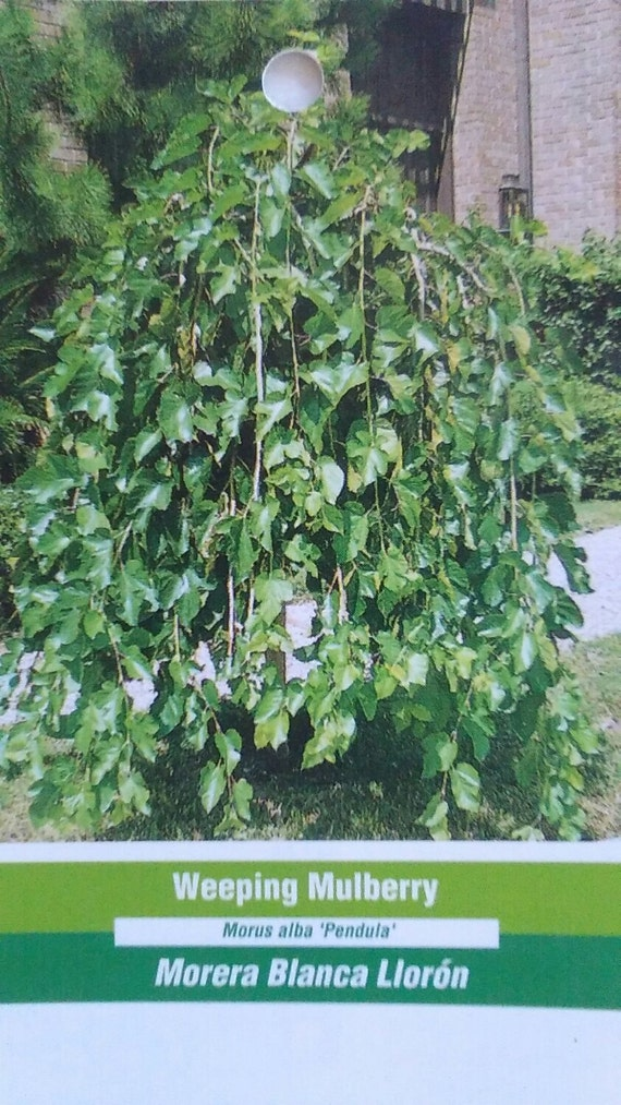 4 5 Weeping Mulberry Tree Live Healthy Plants Easy To Grow Trees Deciduous Plant Berry Home Garden Landscape Hardy Beautiful Landscaping