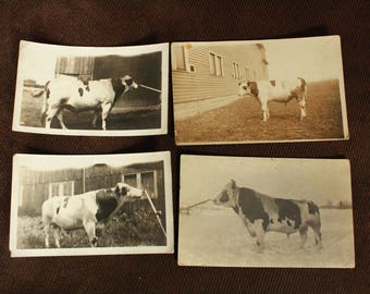 Antique Photographs of Cows. Antique Post Cards. Old Black and White Photographs. Paper Ephemera. Farm House Decor.
