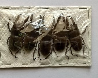 Wholesale 5 x Dorcus Taurus -  Taxidermy - Unmounted - Ready To Rehydrate - Artwork