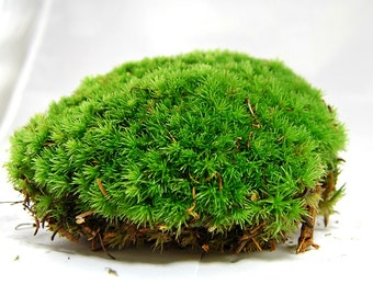 Live moss, Compact pillow moss, for a terrarium, vivarium, miniature gardens or craft projects, wedding decor, terrarium plant, moss supply