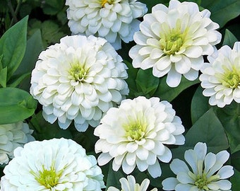 Zinnia Benary's Giant White 4 foot plants 20 seeds