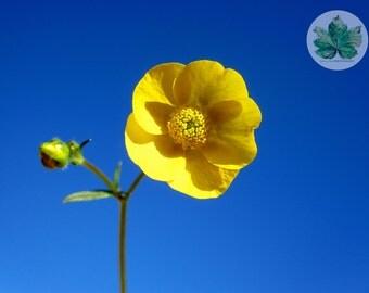 Buttercup, A4 Photography print, flower floral summer sunshine