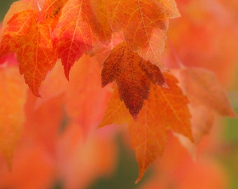 Blazing orange Maple leaves in Fall, home decor, nature  photography, nature print, art, Montana, wall art, decorating
