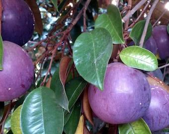 Heirloom Exotic Purple Star Apple Seeds, Chrysophyllum cainito/Golden Leaf Tree/Milk Fruit/Aguay/Abiaba, Organic Tropical Fresh Fruit seeds