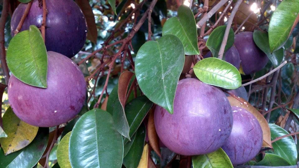 Heirloom Exotic Purple Star Apple Seeds, Chrysophyllum ...