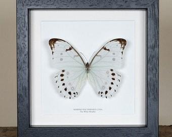 The White Morpho Butterfly in Box Frame (Morpho polyphemus luna)