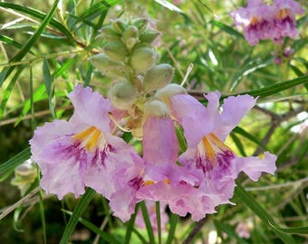 Desert Willow seeds Buy 1 get 1 FREE We will supply at least 100 select hand picked Seeds per order.