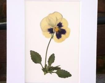 Real Pressed Flower Art Botanical Herbarium of Pansy 5x7
