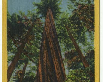 Founder's Tree Tallest Living Tree in the World Redwood Highway California 1933 Linen Postcard