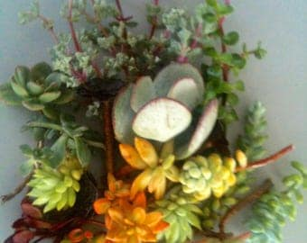 """Variety of Colorful Succulents 12 Pieces of Sedum and Crassula Succulents 2""""-3"""" Cuttings for Small Rock Garden Drought Tolerant Plants"""