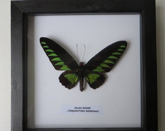 Birdwing Butterfly Framed specimen Brookiana