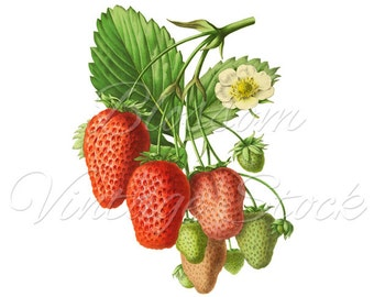Strawberry Clipart PNG Vintage Image - Strawberries Graphic for prints, digital artwork, decoupage, wall decor - INSTANT DOWNLOAD - 2004