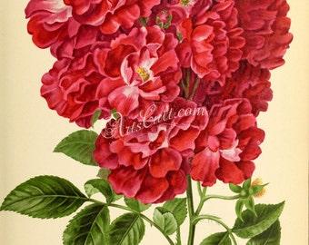 flowers-29132 - Rose Turner's Crimson Rambler brightest Cerisier Rosier, Cramoisi de Turner, Sakou-Ibara, Ten Sisters, Engineer's Rose print