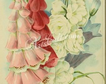 flowers-32262 - Digitalis or Foxglove, Canterbury Bell, campanula macrantha, campanula gigantea moerheimi red pink white flowers print image