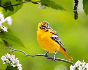 Baltimore Oriole, Bird Photography, Fine Art Photography Print, Bird Art, Photography Prints, Wildlife Prints, Nature Photography, Wall Art