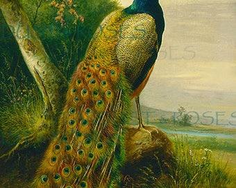 Peacock Paintings Etsy