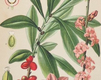 Plant study, antique print | Thymelaeaceae, 1893, Chromolithography