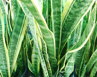 Sansevieria Laurentt- Snake plant, mother-in-law's tongue