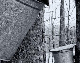 Maple Sap Buckets in Early Spring, New England