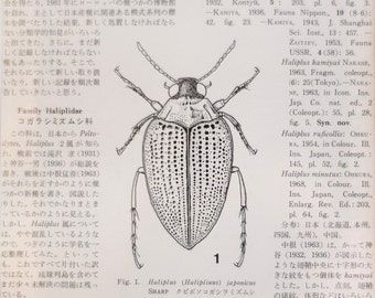 Water beetle--original Japanese scientific illustration