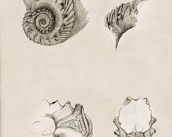 Fossil Ammonite, Scientific drawings: Cretaceous Ammonite  (Euhoplites) © A3