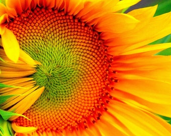 Sunflower  Art Photography /Home Decoration Photography/Office decoration Photo/Cheerful and Uplifting Yellow