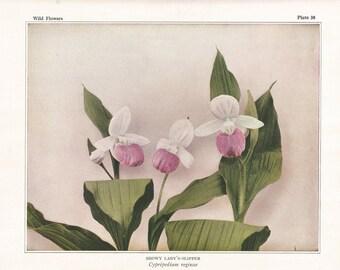 Antique Botanical print, Lady's Slipper, Vintage decor, botany, garden, gardening, shappy chic, cottage decor, pink wildflower,
