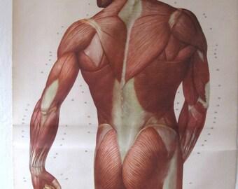 German Anatomical Chart Life Size Muscles Dresden Hygiene Museum Vintage Antique