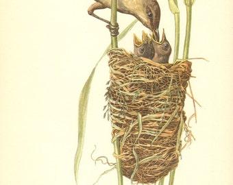 1953 Great Reed Warbler - Acrocephalus arundinaceus Vintage Offset Lithograph