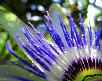 Passion Flower by Catherine Roché, California Nature Photography, Spring Flowers Photography, After the Rain Photography, Fine Art