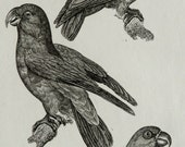 1835 Antique print of PARROTS, different species. Lory. Lorikeet. Cockatoo. Macaw. Ornithology. 181 years old rare Buffon engraving
