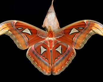 ONE Real Attacus Atlas Moth Snake Mimic Wings Closed Papered Unmounted Wholesale