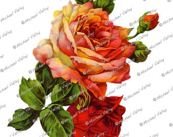 Vintage Orange and Red Roses Beautifully detailed PNG download transparent aka no background